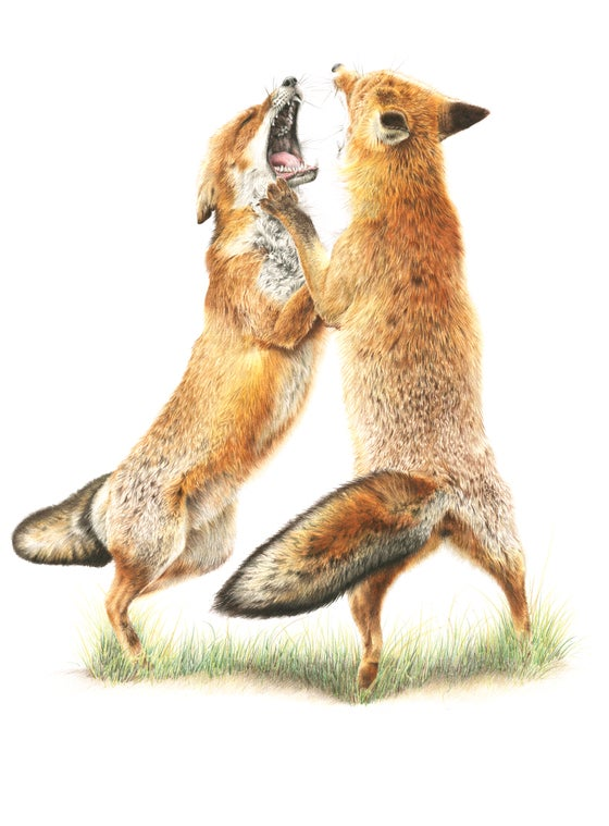 Image of 'Fighting Foxes' Mounted Print