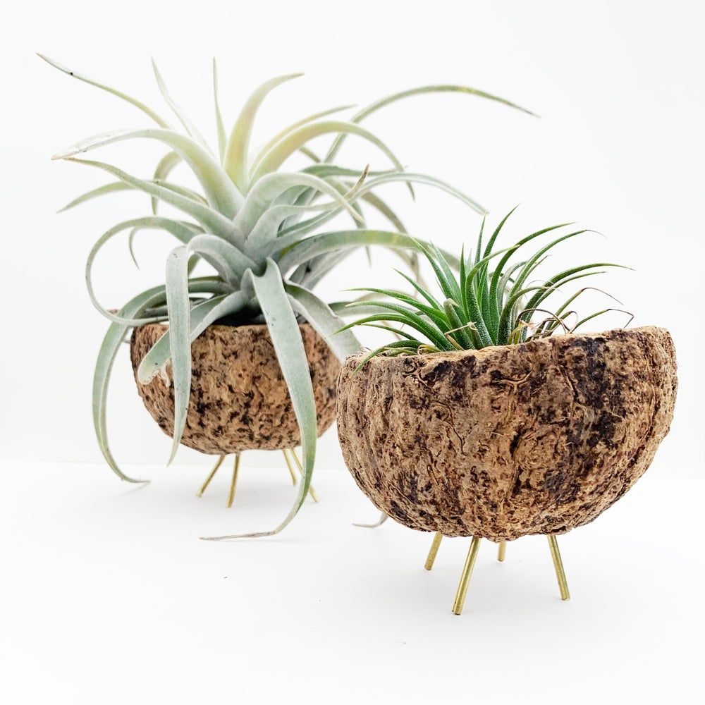 Image of Walking Coco Planter / Mayan Cocos + Brass Legs