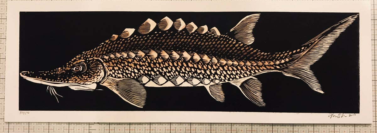 Image of Atlantic Sturgeon (digital archival print)