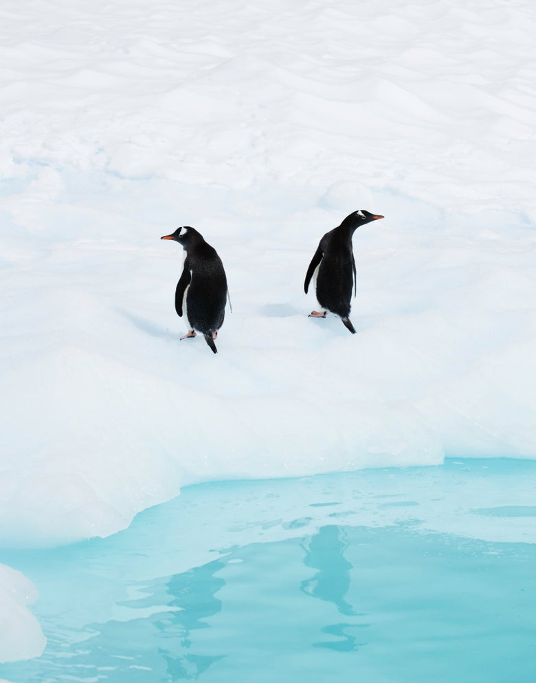 Image of Gentoo Penguin Pair