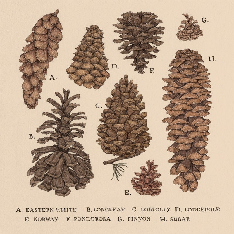 Image of Pinecones Print