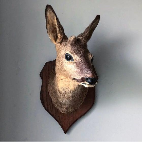 Image of Taxidermy Roe Deer