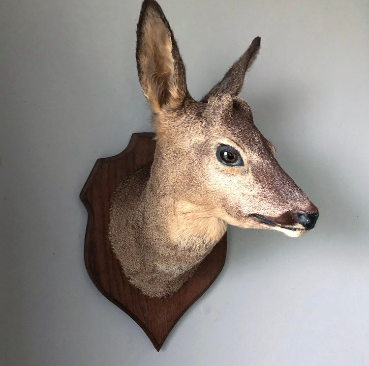 Taxidermy Roe Deer