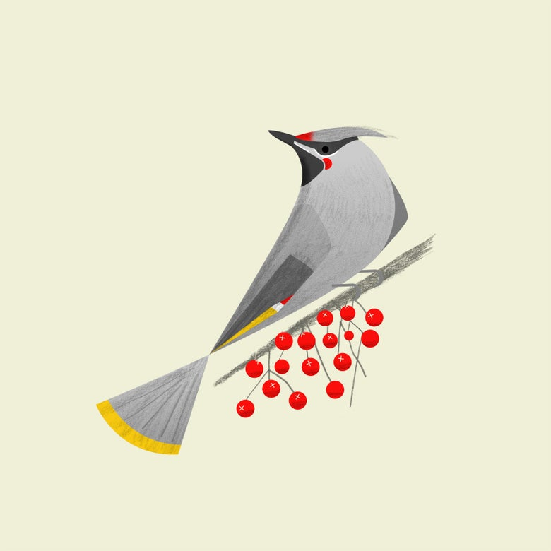 Image of Waxwing Print
