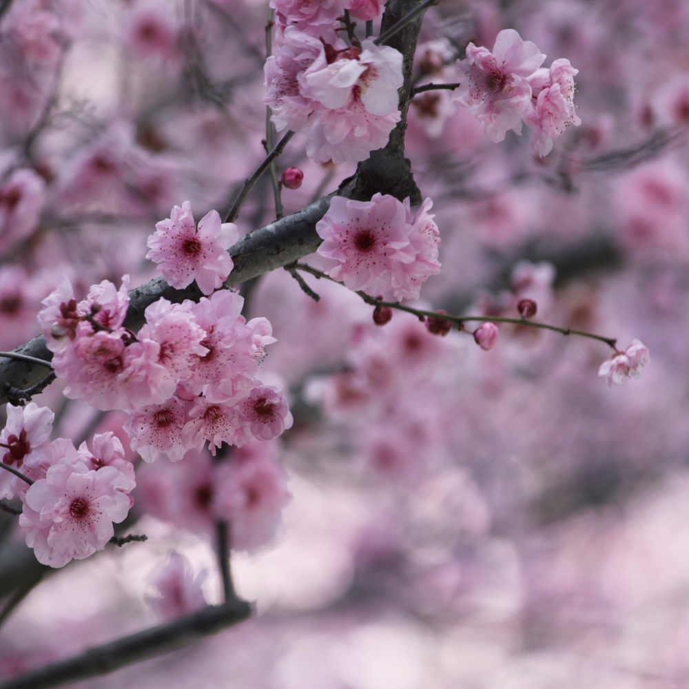 Sakura Japanese Cherry Blossoms Are Infused With Magnolia And
