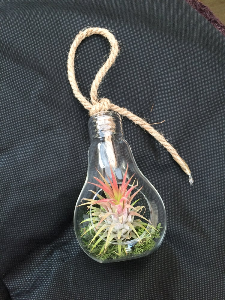 Image of Tillandsia in Light bulb small size