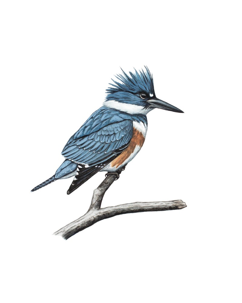 "Image of 11x14"" Limited Giclee Print: Female Belted Kingfisher"