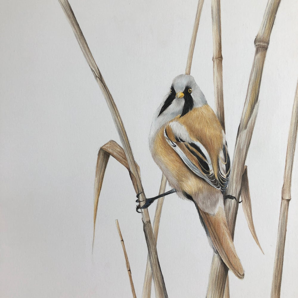 Image of 'Bearded Tit' Limited Edition Print