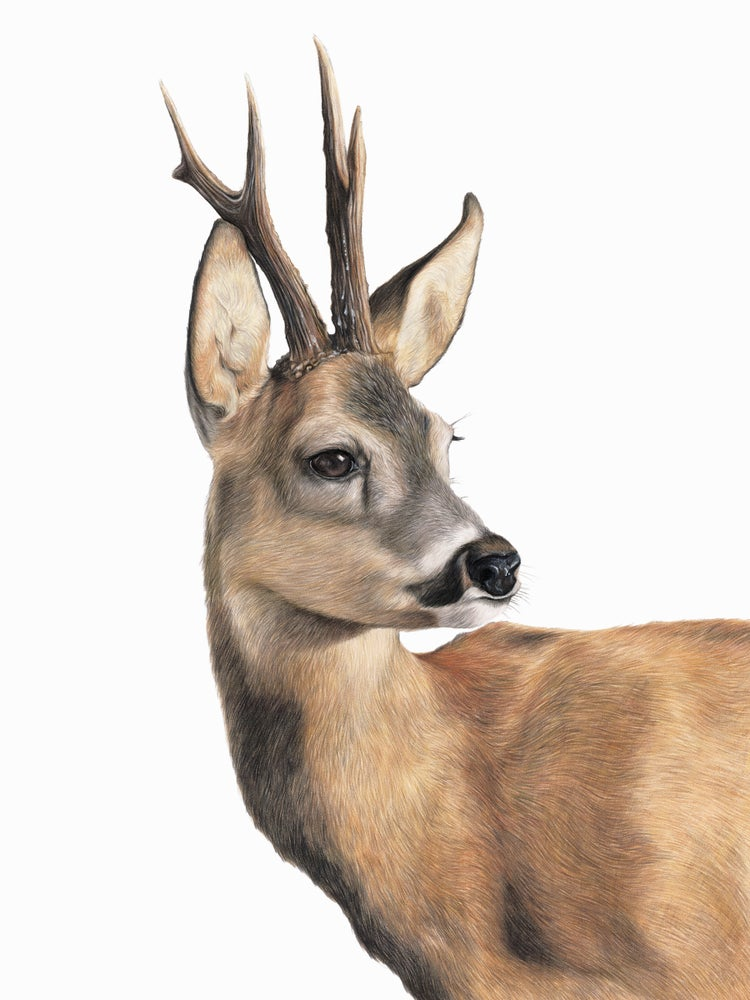 Image of 'Roe Buck' Limited Edition Prints