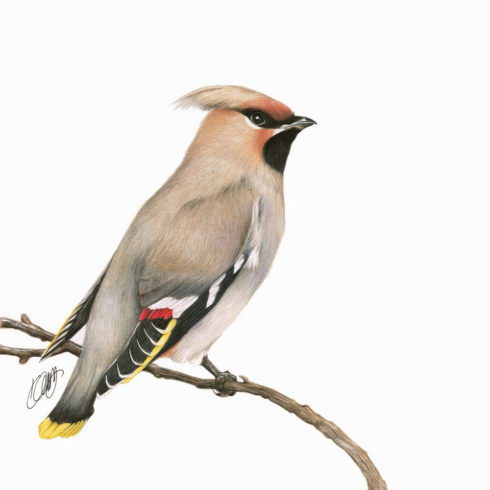 "Image of ""Waxwing"" Limited Edition Print"