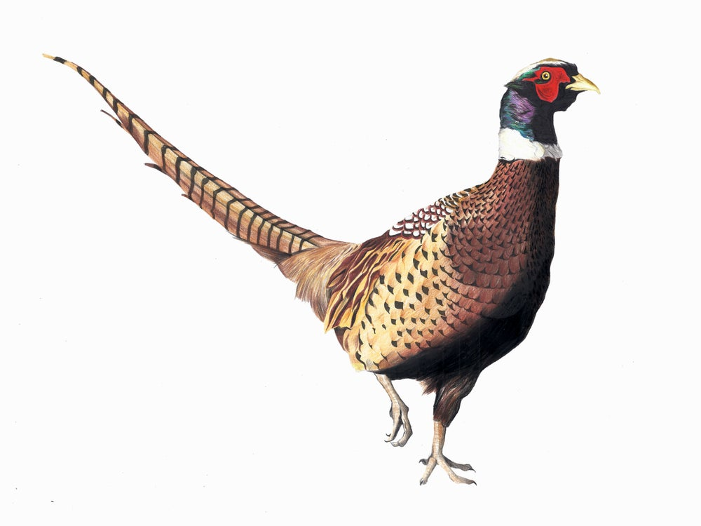 "Image of ""Strutting Pheasant"" Limited Edition Print"