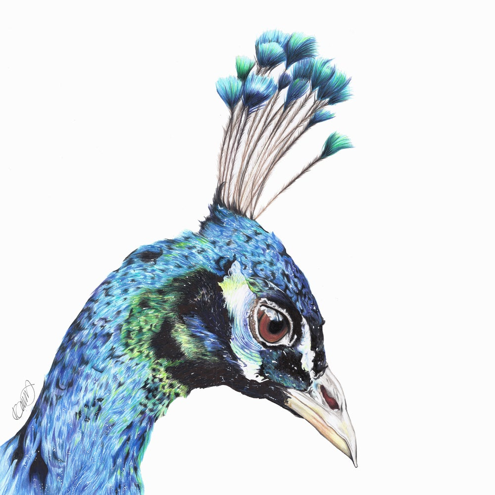 "Image of ""Blossom the Peacock"" Limited Edition Print"