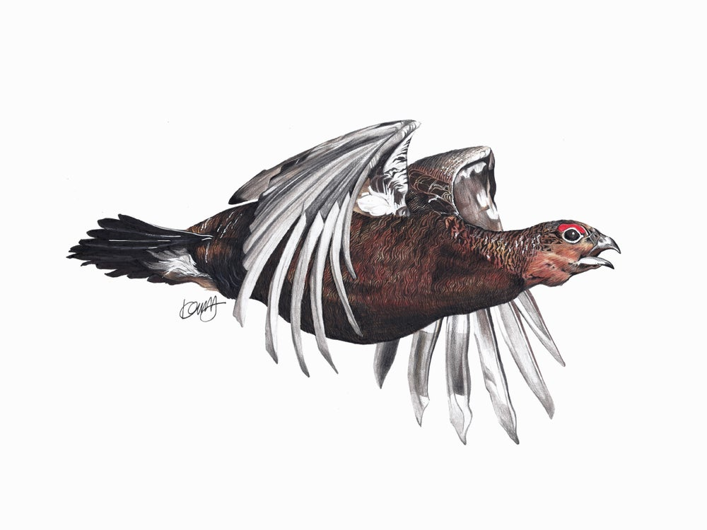 "Image of ""Flying Red Grouse"" Limited Edition Print"