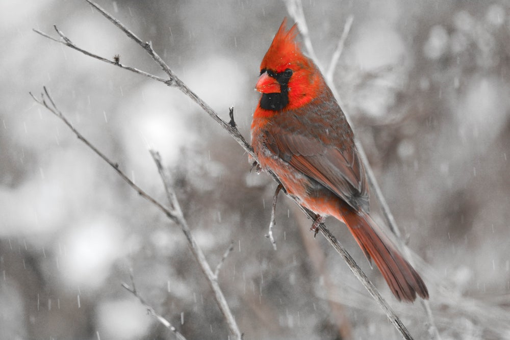 Image of Northern Cardinal       Starting from