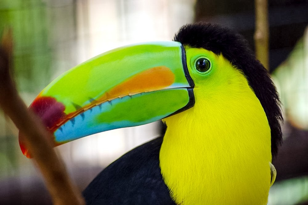 Image of Toucan Royal Blue