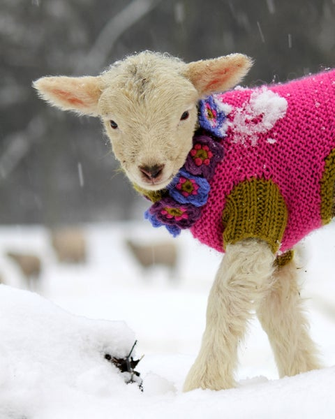 Image of Notecards - Set of 10 - White Lamb in Pink Sweater - FREE SHIPPING