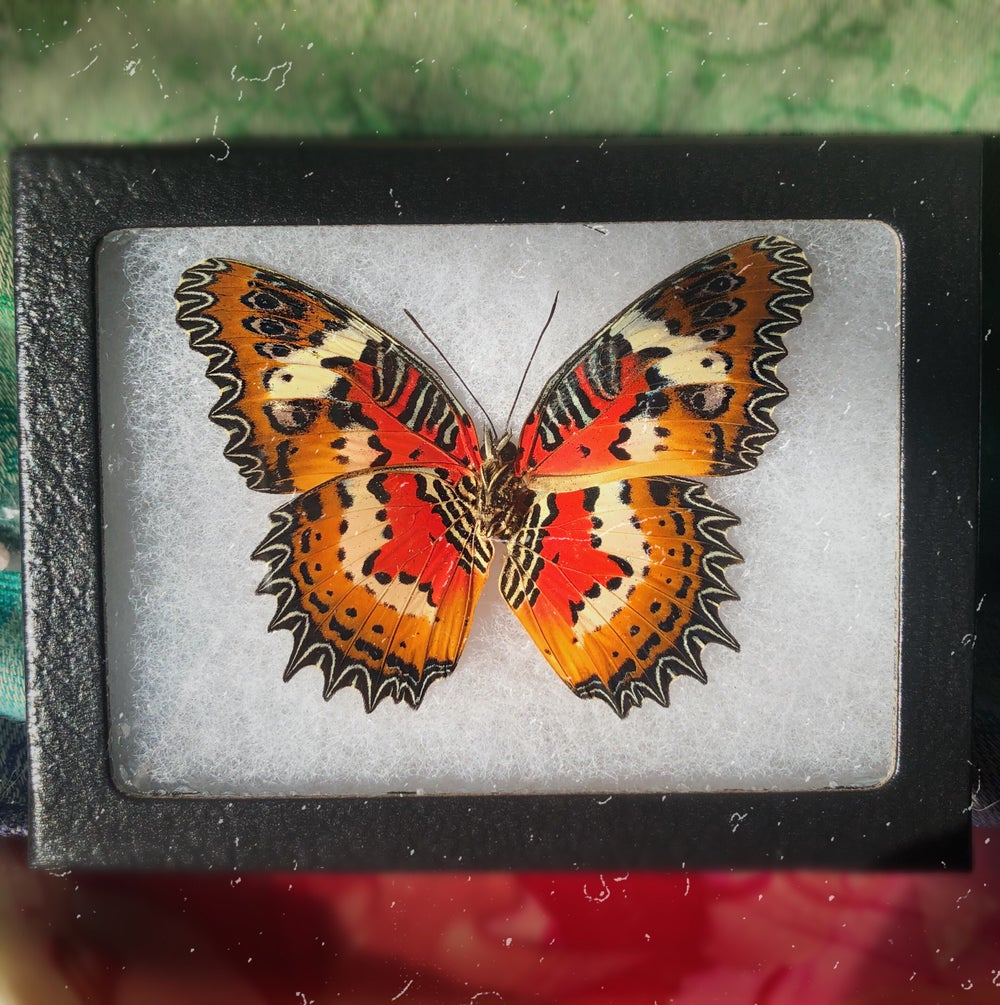 Image of Real Framed Butterfly | CRUELTY FREE
