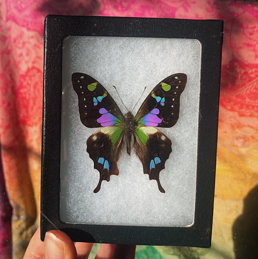 Image of Majestic Real Butterfly | CRUELTY FREE