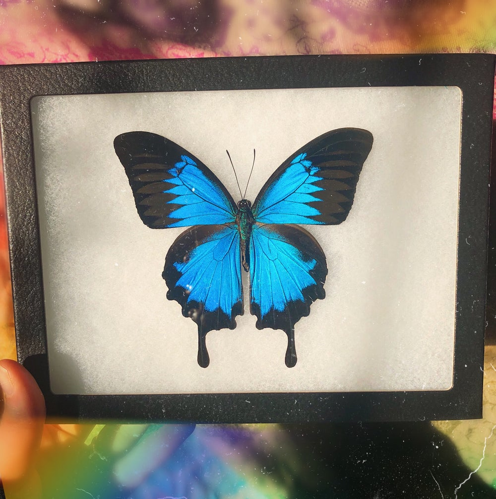 Image of Large Real Framed Butterfly | CRUELTY FREE