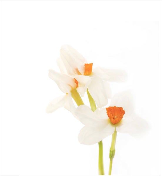 Image of NOTEPAD Daffodils