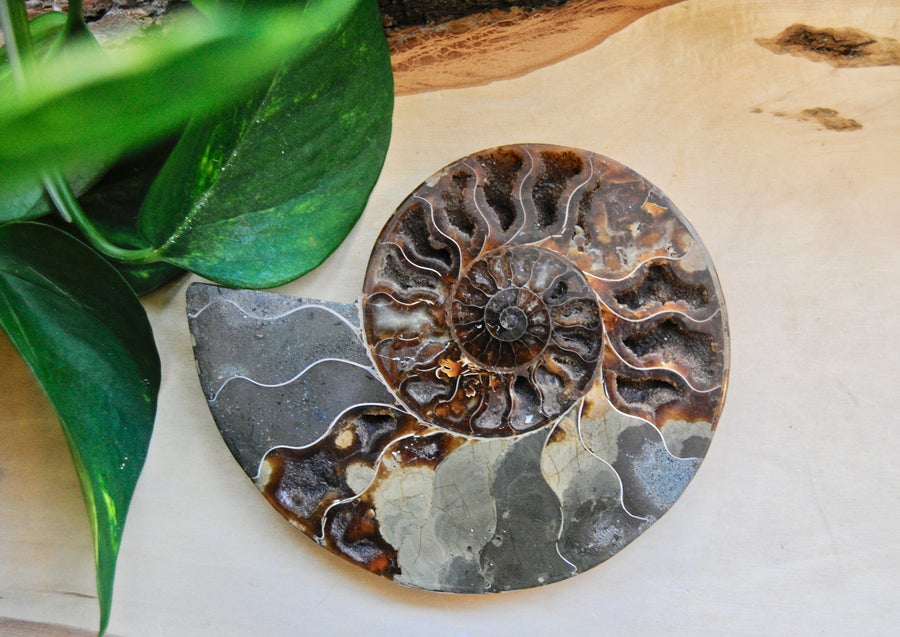 Image of Ammonite fossil
