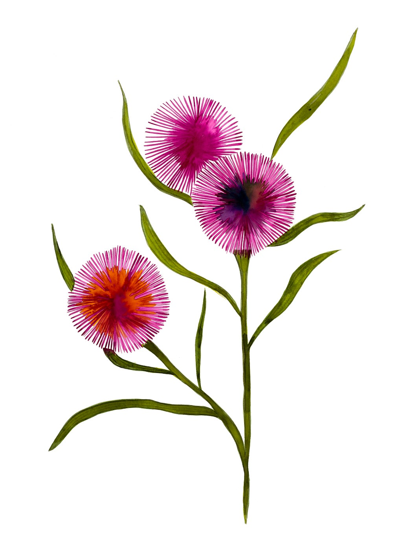 Image of Pink Hakea
