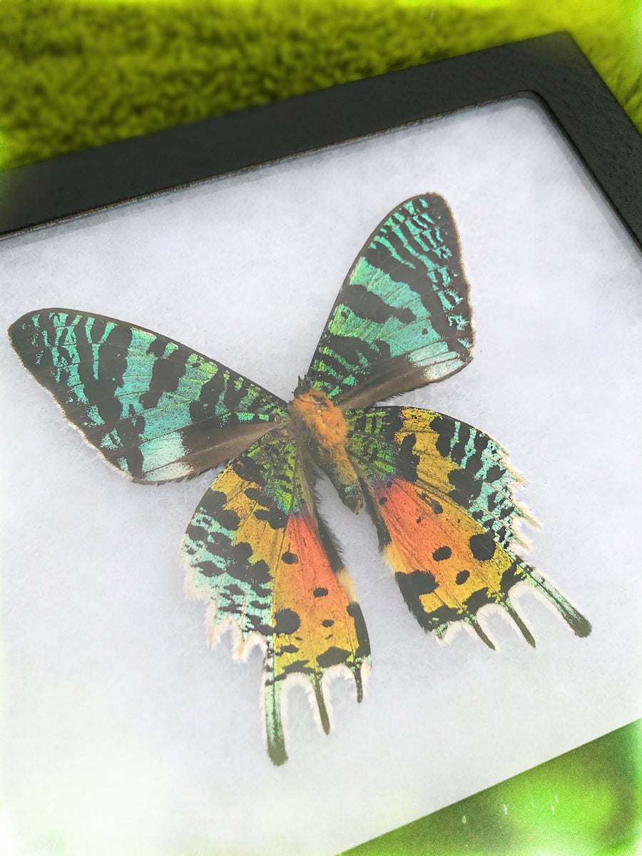 Image of Rainbow Sunset Moth (Chrysiridia Rhipheus) | CRUELTY FREE