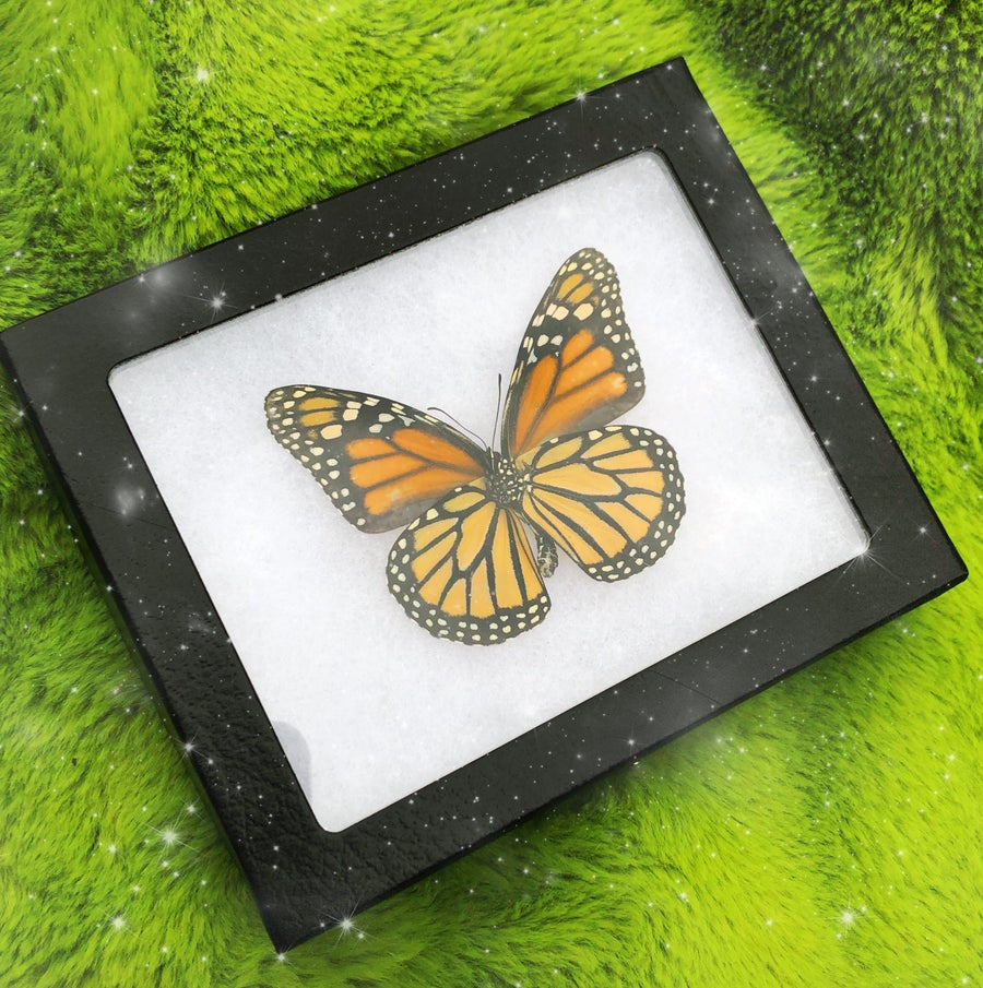 Image of Real North American Monarch Butterfly (Danaus Plexipus Verso) | CRUELTY FREE