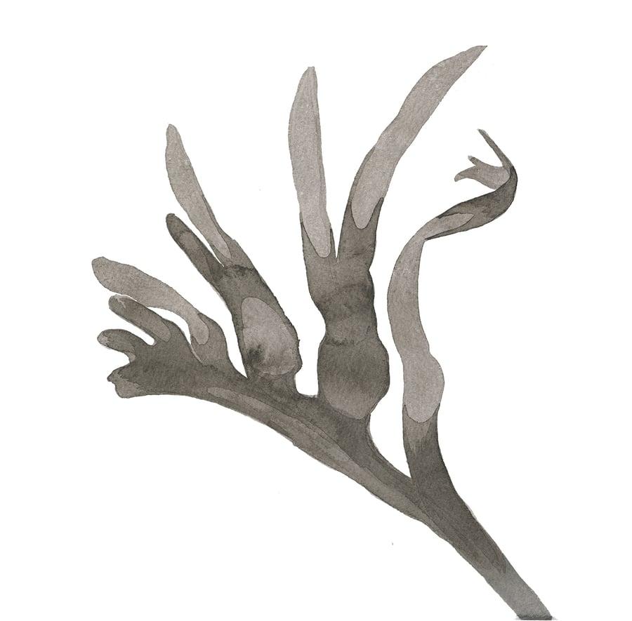 Image of Kangeroo paw