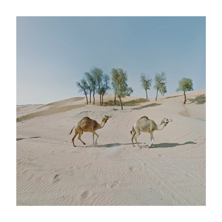 Image of Synchronised Camels, United Arab Emirates