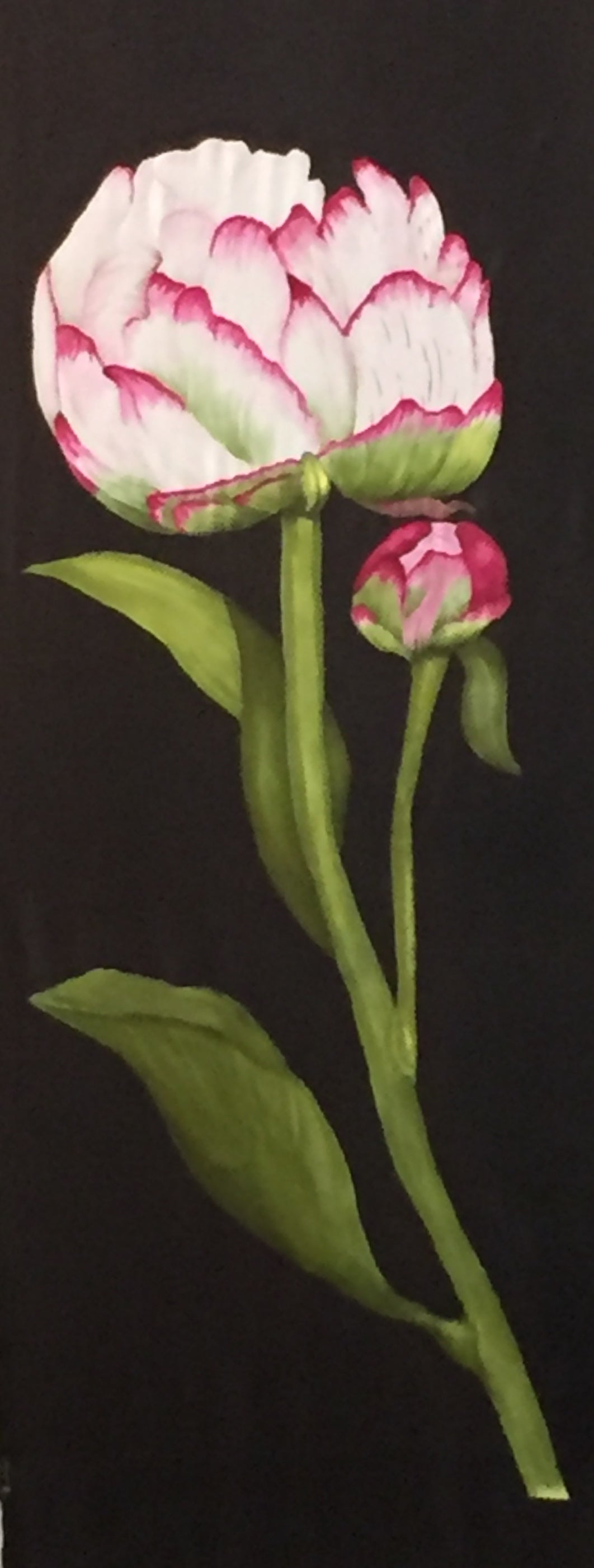 Image of Peony and bud on black background