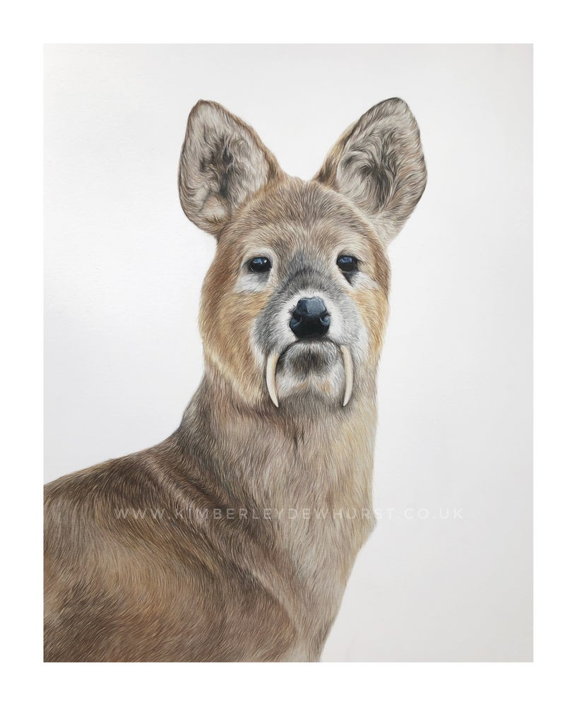 Image of 'Chinese Water Deer' Original