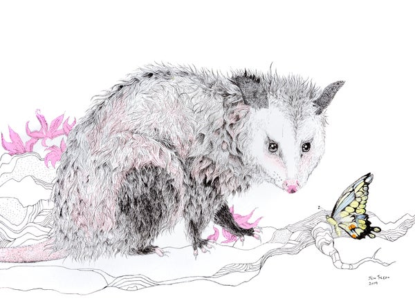 Image of Opossum & Swallowtail