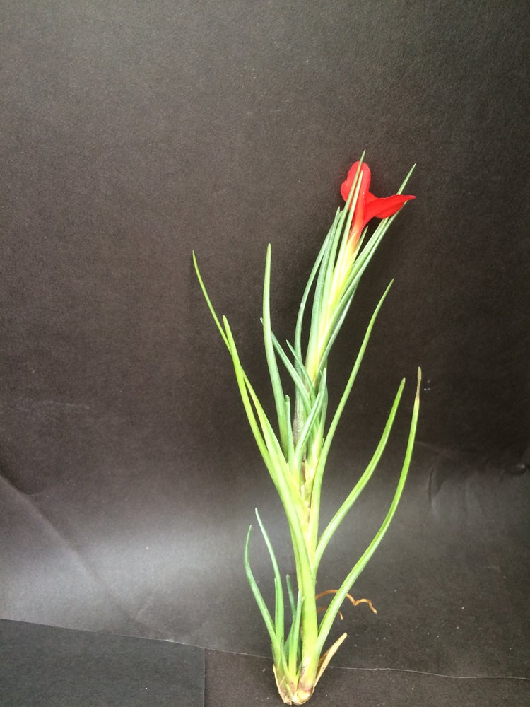 Image of Tillandsia albertina