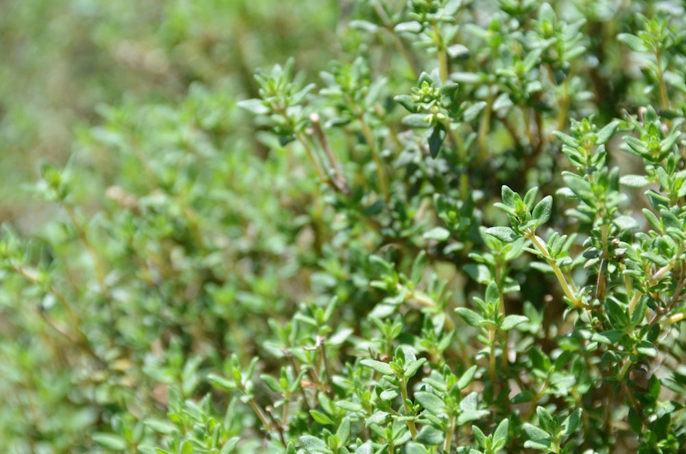 Image of Common Thyme