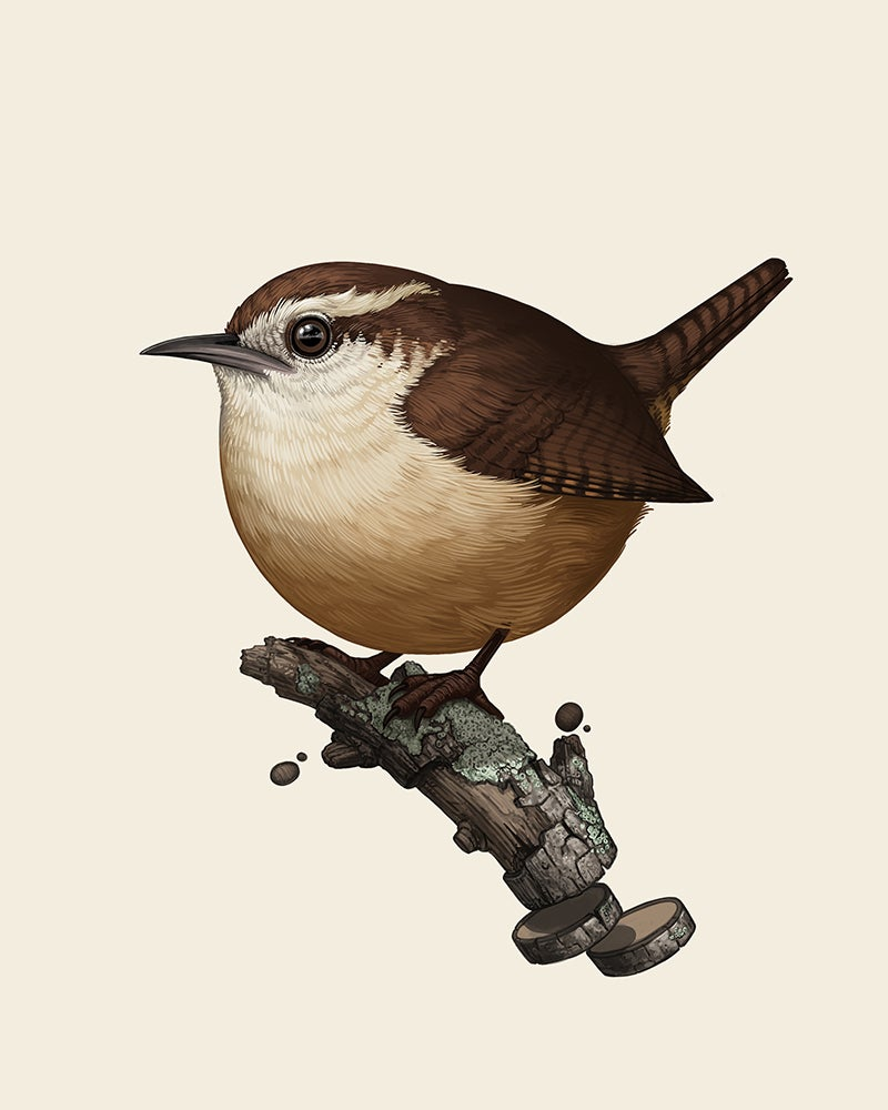 Image of Carolina Wren