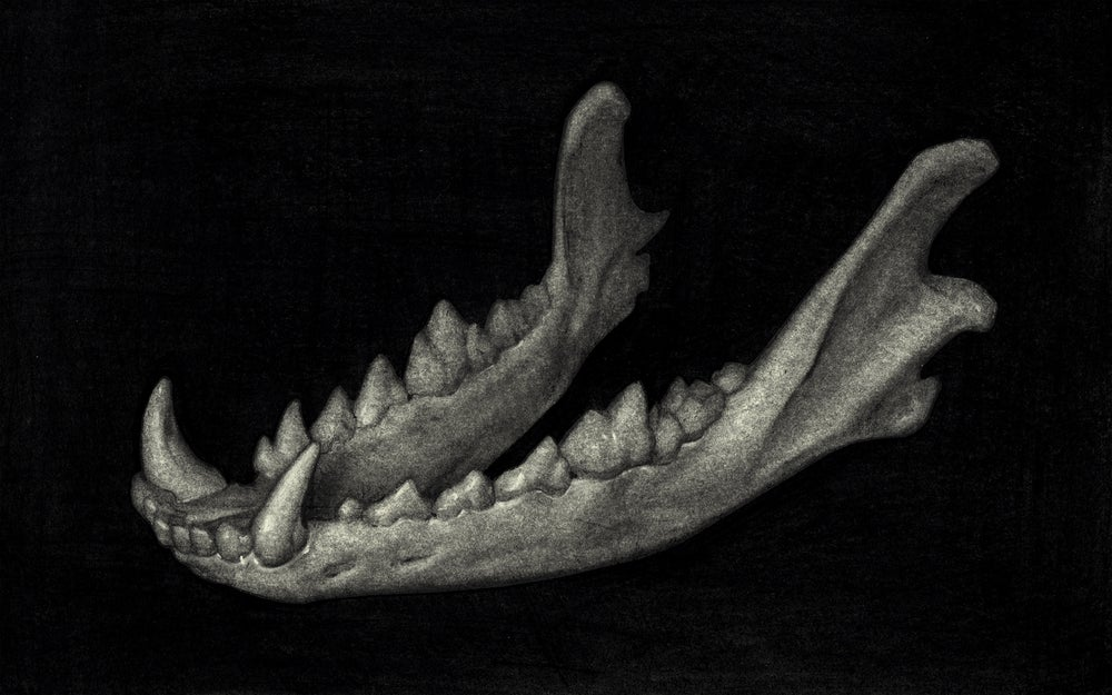 Image of Coyote Jaw - Drawing
