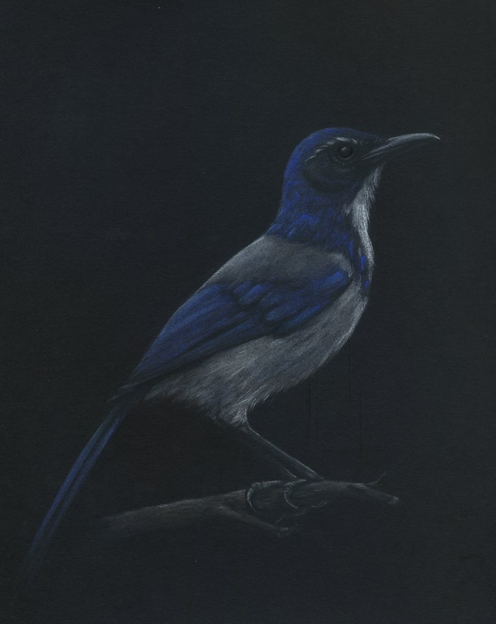 Image of Scrub Jay Study - Drawing on Paper