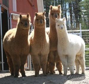 Image of Alpaca Farm Tour Meet Alpacas Hour Tour