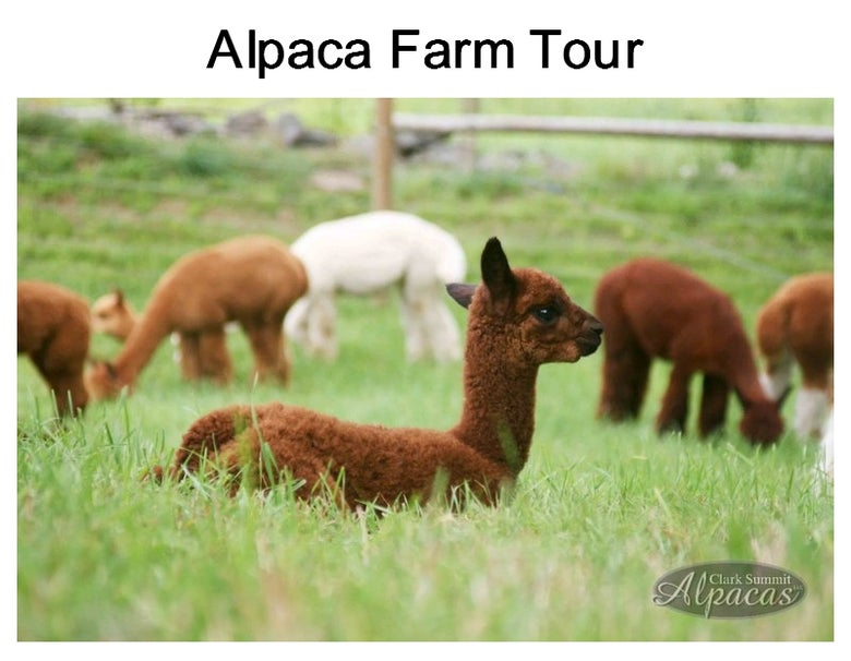 Image of Alpaca Farm Tour Meet Alpacas Hour Tour