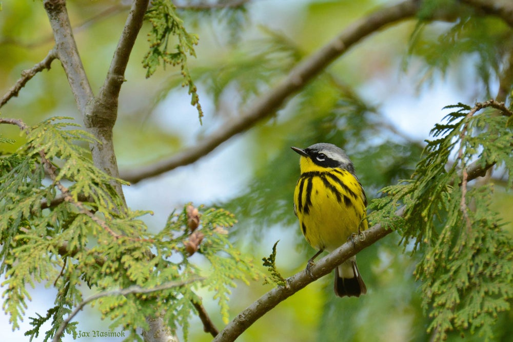 Image of Magnolia Warbler  Starting from