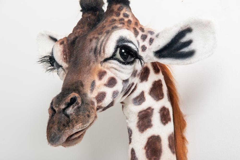 Image of Faux Taxidermy Baby Giraffe Head