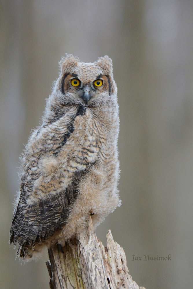 Image of Owlet Starting from