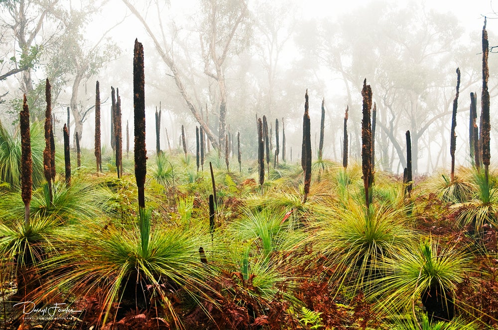 Image of Grass Tree's, Anglesea