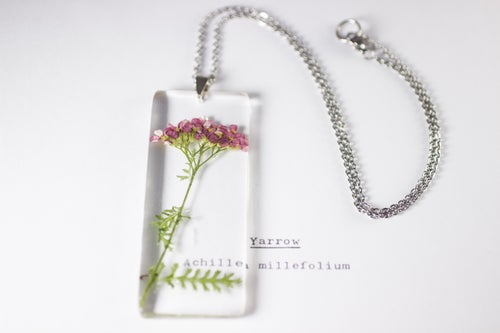 Image of Pink Yarrow (Achillea millefolium) - Long #1