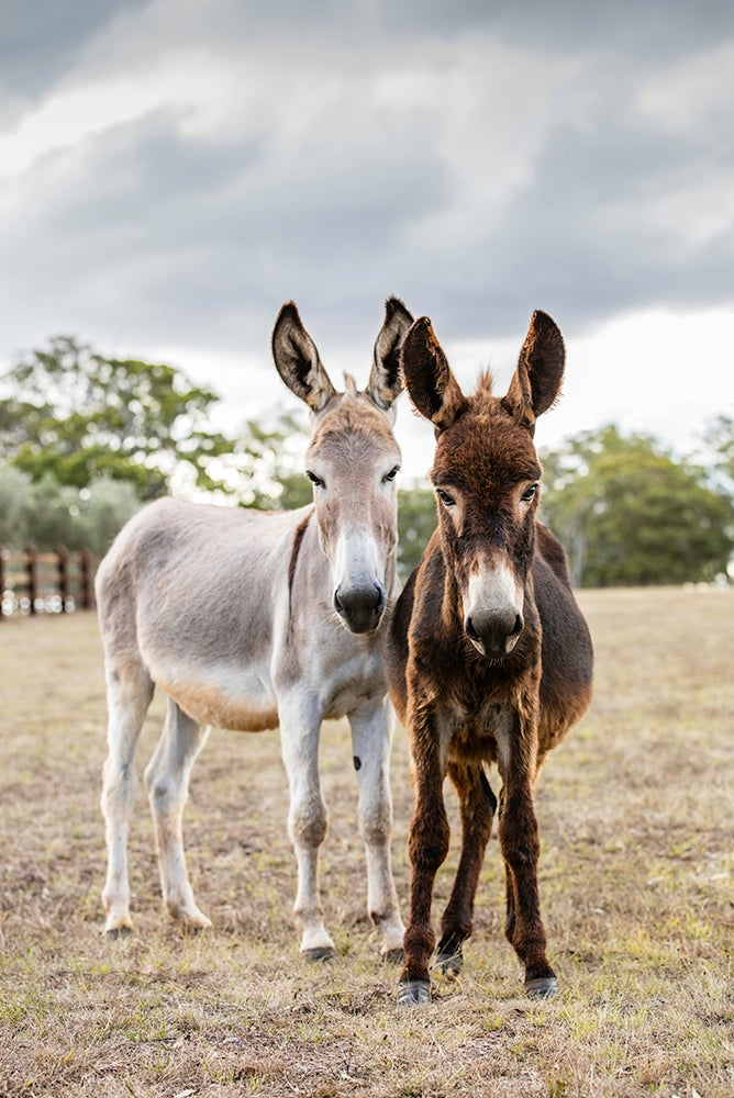 Image of Paddy and Clover - The Donkeys