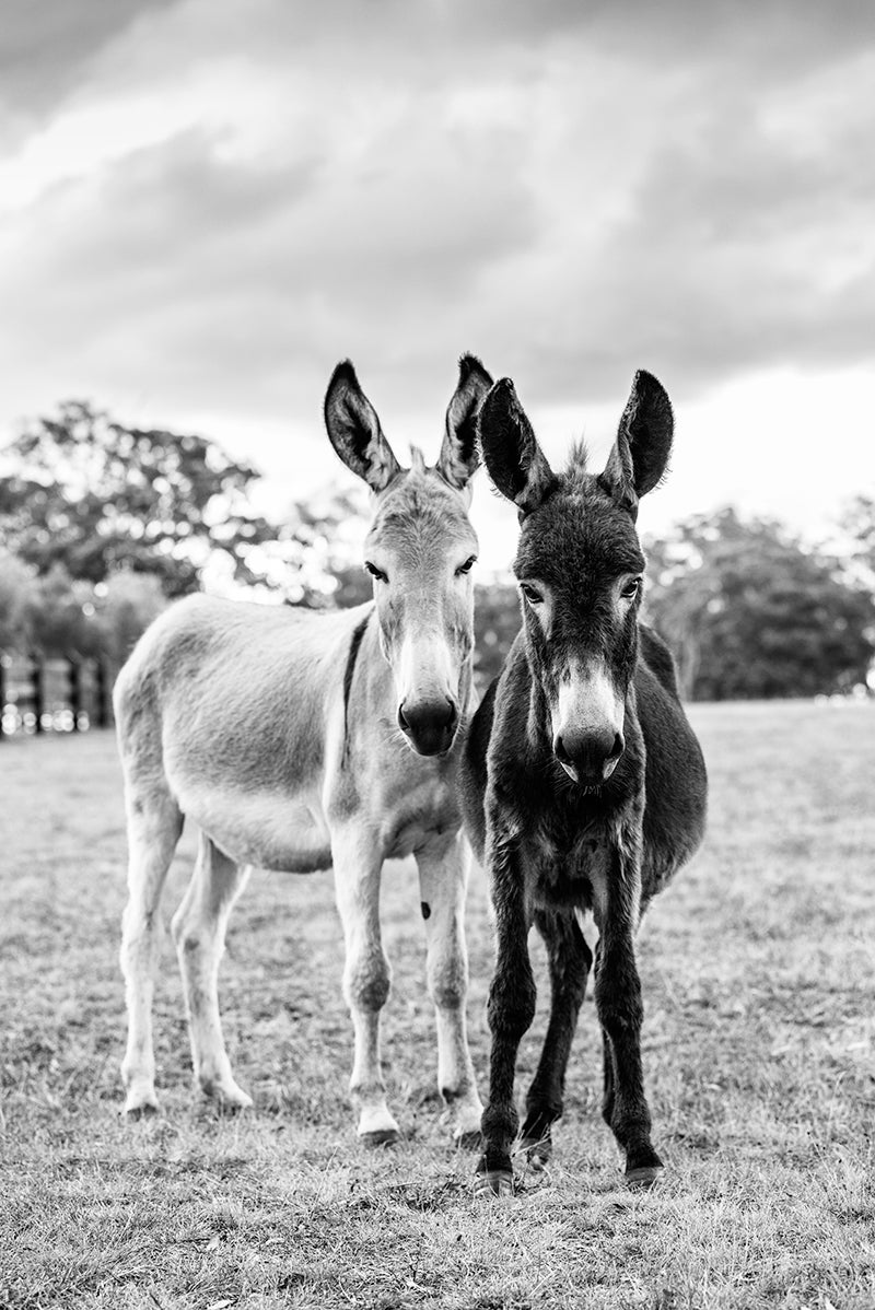 Image of Paddy and Clover - The Donkeys BW