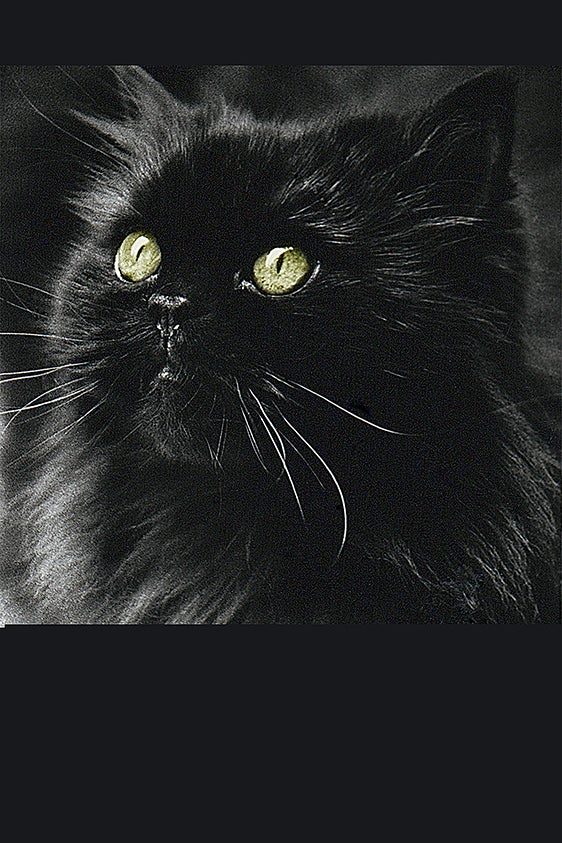 Image of Oscar Black Cat