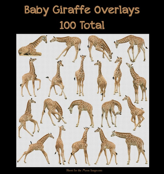 Image of Baby Giraffe Overlays