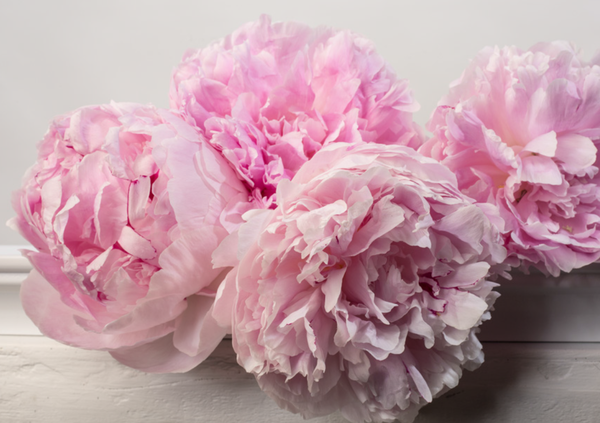 Image of PEONY BLOOMS